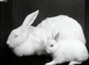 Exhibition of pedigree rabbits